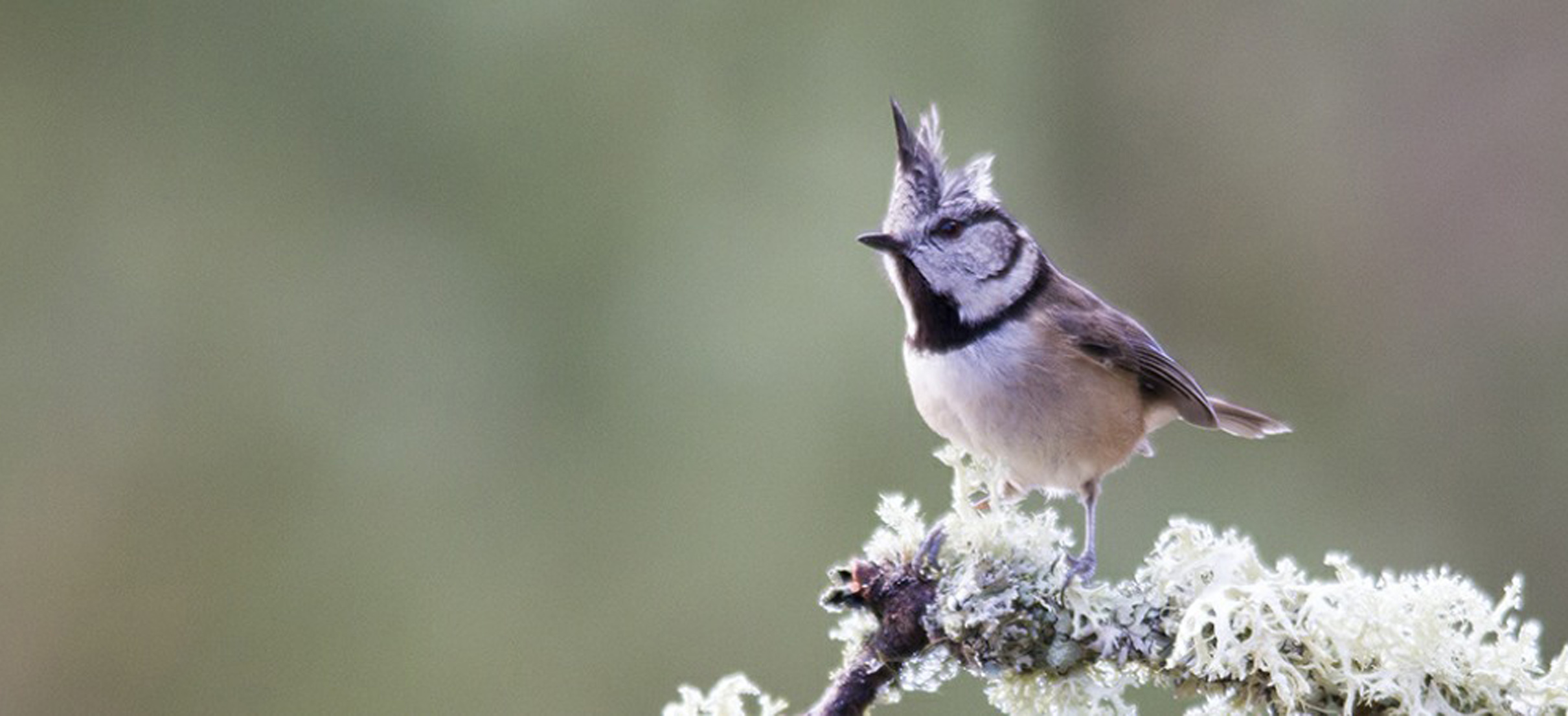 willdife identification crested tit