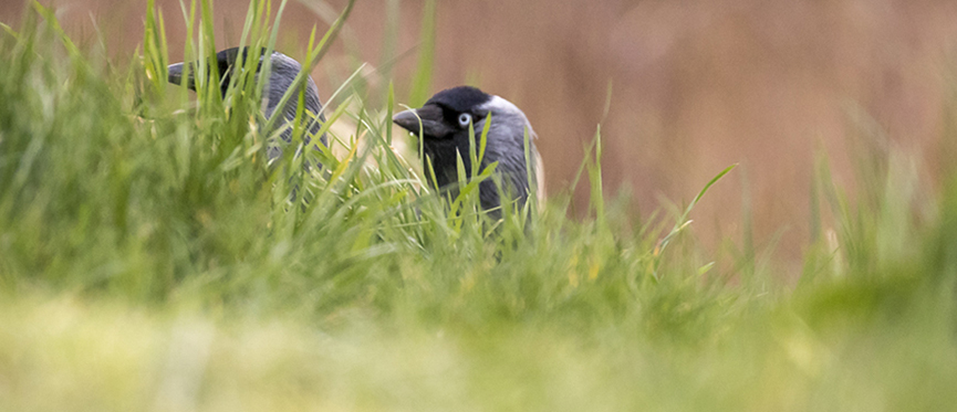 Jackdaw in grass